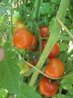 ČEŠNJEVEC DOLGE VEJE: vrsta balkonskega paradižnika češnjevca, ki obrodi okrogle, rdeče in sočne plodove, s premerom 2 – 4 cm. Od drugih paradižnikov češnjevcev se razlikuje po tem, da so plodovi na nekaj daljših vejah. V ugodnih pogojih zraste 50 -70 cm v višino. Potrebuje oporo, ker se razvije v širino.