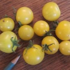 DOMBELLO: italijanska pritlikava sorta paradižnika za vzgojo na balkonih (terasah, ložah, verandah … ali kje drugje v večjih posodah). Plodovi so rumeni, okrogli, sočni in sladki, s premerom 2 – 3 cm. V ugodnih razmerah zraste 30 - 40 cm visoko.