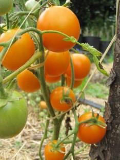 IDA GOLD : zgodnja sorta, ki obrodi zelo lepe in okusne plodove zamolklo oranžne barve. Plodovi imajo 4 – 5 cm v premeru. Je relativno mesnata, a vseeno sočna. V ugodnih pogojih zraste do 60 cm visoko in potrebuje oporo.