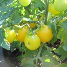 BALKONSKI MALI RUMENI: pritlikava sorta paradižnika obrodi majhne, okrogle, rumene in sočne plodove, s premerom 2 – 3 cm. Zraste največ 30 - 40 cm.