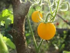 MIRABELLE : sorta paradižnika za gojenje na balkonih (terasah, ložah, verandah … ali kje drugje v večjih posodah). Plodovi so rumeni, okrogli, sočni in sladki, s premerom največ do 3 cm. V ugodnih razmerah zraste do 80 cm visoko.