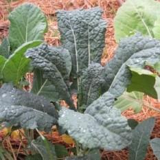 OHROVT TOSKANSKI Sadimo na razdalje 30 – 40 cm. V ugodnih pogojih zraste do 150 cm visoko. Preblizu posajene rastline se med sabo dušijo, zato se ne morejo povsem razviti. Dobri sosedje: blitva, zelena, česen, kapucinka, žajbelj, koper, kumare, krompir, česen, meta, repa, rožmarin, solata, špinača.
