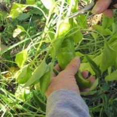 """PAPRIKA STARA MAKEDONSKA (sladka) To je stara sorta makedonske sladke paprike. Rastlina zraste od 50 do 70 cm v višino. Plod je podoben papriki rog, a ima drugačen vrh. S sajenjem ne hitimo, ker nujno potrebuje topla tla. V hladni zemlji bo zaostala v rasti ali celo propadla. Zanjo so zato primerne visoke grede (v katerih so tla toplejša od okoliških tal). Na prosto sadimo, ko je zemlja topla. Paprika ima rada """"vlažne noge"""", zato jo moramo redno zalivati. Če boste na vrtu imeli več vrst paprike, morate vedeti, da se med sabo zelo rade križajo, zato jih posadite čim dlje narazen. Če bodo hude in sladke paprike rastle preblizu skupaj, bodo imele vse podoben okus. Dobri sosedi: bazilika, geranija, čebula, majaron, korenje, okra, peteršilj, petunija, paradižnik. Slabi sosedje: kolerabica, komarček, marelica."""