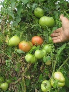 PARADIŽNIK BORGO (300 do 600 g) Stara sorta, ki obrodi velike in težke, mesnate rdeče plodove, ki so težki od 300 do 600 g. Zaradi velikosti in števila plodov je ta sorta paradižnika res čudovita. V ugodnih pogojih zraste do 1,5 m v višino, zato nujno potrebuje kol za privezovanje. Potrebuje veliko sonca in toplote, najlepše uspeva na Primorskem. Zelo primeren prostor zanj bi bil v zavetju, morda ob zidu, ki bi čez dan akumuliral toploto. Posamezna rastlina lahko rodi tudi do 30 velikih plodov, zato jo med razvojem plodov razbremenimo tako, da plodove, takoj ko se obarvajo, oberemo in dozorimo na soncu. Tako bodo lahko vsi plodovi dozoreli do konca rastne sezone. Plodovi su zelo okusni in podobnega okusa in teksture kot volovsko srce. Paradižnike sadimo tako, da zasujemo steblo do prvih listov. Iz zasutega stebla bodo pognale korenine, zaradi česar bo rastlina bolj stabilna in bolje nahranjena. Sadimo jih na razdaljo od 70 do 100 cm. Dobri sosedje: amarant, janež, boreč, bazilika, zelena, rdeča pesa, črna redkev, česen, kapucinka, geranija, fižol, žajbelj, kopriva, kolerabica, kozmos, čebula, melisa, korenje, meta, ognjič, origano, peteršilj, petunija, por, radič, redkvica, glavnata solata, listnata solata, šparglji, špinača, timijan, drobnjak. Slabi sosedje: brokoli, cvetača, grah, jagode, ohrovt, brstični ohrovt, koromač, koper, kolerabica, kumare, krompir, koruza, zelje, mačja meta, marelica, oreh, paprika, jajčevec, repa, rožmarin.