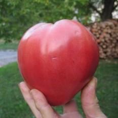 PARADIŽNIK VOLOVSKO SRCE (300 do 600 g) Vsem dobro poznana stara sorta paradižnika. Obrodi velike, temno rdeče, sočne in okusne plodove, težke od 300 do 600 g. Paradižnike sadimo tako, da zasujemo steblo do prvih listov. Iz zasutega stebla bodo pognale korenine, zaradi česar bo rastlina bolj stabilna in bolje nahranjena. Sadimo jo na razdaljo od 70 do 100 cm. Dobri sosedje: amarant, janež, boreč, bazilika, zelena, rdeča pesa, črna redkev, česen, kapucinka, geranija, fižol, žajbelj, kopriva, kolerabica, kozmos, čebula, melisa, korenje, meta, ognjič, origano, peteršilj, petunija, por, radič, redkvica, glavnata solata, listnata solata, šparglji, špinača, timijan, drobnjak. Slabi sosedje: brokoli, cvetača, grah, jagode, ohrovt, brstični ohrovt, koromač, koper, kolerabica, kumare, krompir, koruza, zelje, mačja meta, marelica, oreh, paprika, jajčevec, repa, rožmarin.