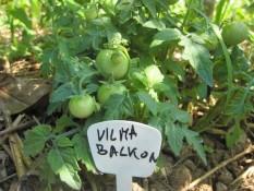 BALKONSKA VILMA : pritlikava sorta paradižnika, ki obrodi okrogle, rdeče ali rdeče-oranžne plodove s premerom do 3 cm. Plodovi su sočni in okusni. V ugodnih razmerah zraste 30 – 40 cm visoko.