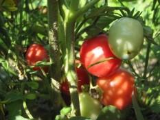 BALKONSKA VRTNA PERLA : obrodi majhne, okusne, temno rdeče žametne plodove, velike do 3 cm. V ugodnih pogojih zraste največ do 50 cm in je zato primerna za gojenje na balkonu in v posodah. Od vseh balkonskih paradižnikov daje največ plodov.