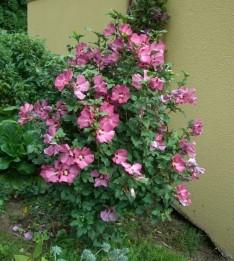 HIBISKUS Grmičasta trajnica je iz rodu slezenovk (Malvaceae), ki lahko zraste do 5 m v višino. Oblikujemo jo lahko kot grm ali kot drevesce (visoko 4 do 5 m). Rad ima sončna mesta, uspeva pa tudi v polsenci. Raste relativno hitro.