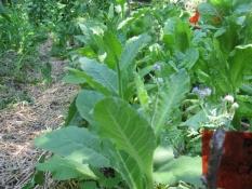 DIVJI TOBAK je naravni repelent za škodljive žuželke, zato ga je dobro posaditi na vrt. Iz njegovih listov pripravimo škropivo za uši.